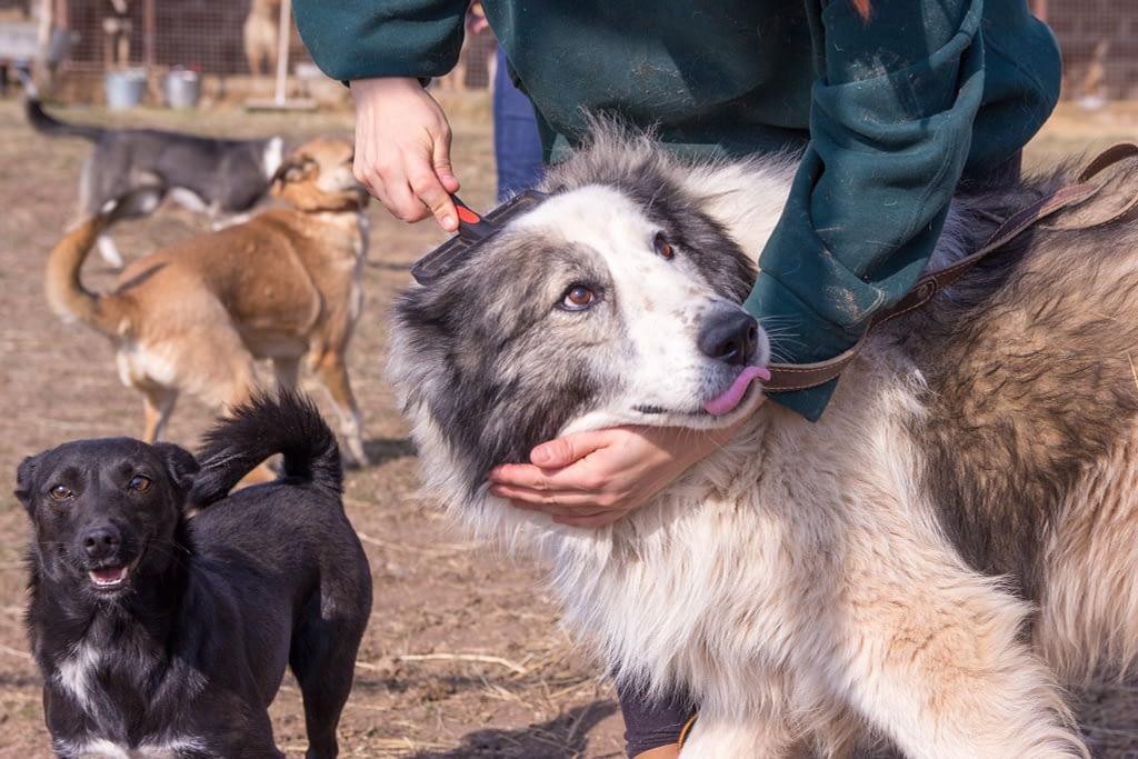 Волонтёр расчёсывает собаку в приюте