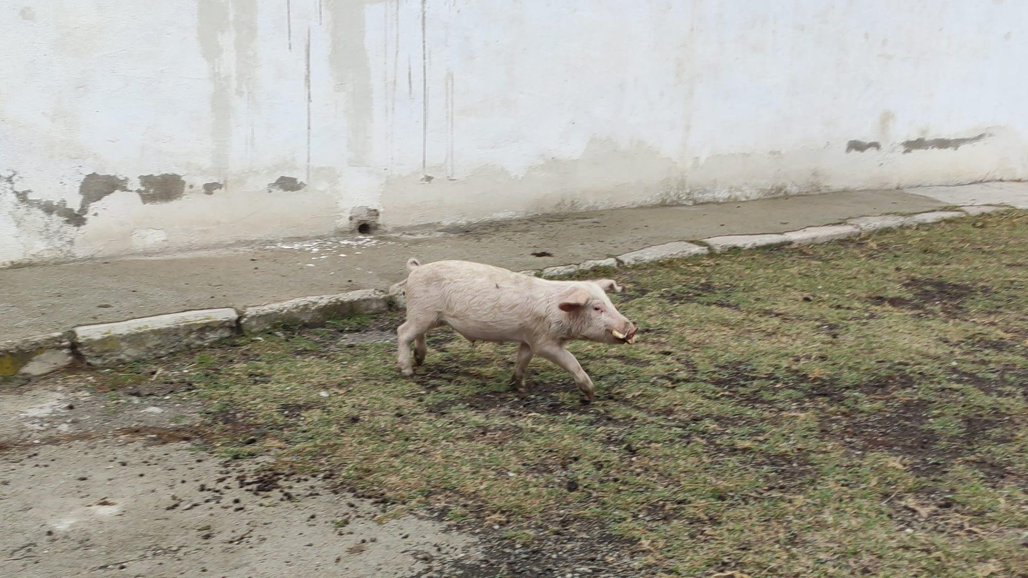 Свинья в Ховташене